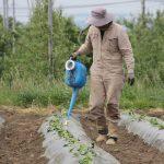 植えた苗に水をやります。